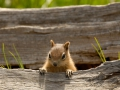 Platz Nr. 14 'Chipmunk im Yellowstone National Park' (Guenther Wamser)