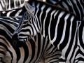 Platz Nr. 23 'Zebra' (Barbara Kohlmann)