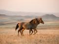 Platz Nr. 32 'Mustangfohlen' (Guenther Wamser)