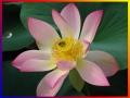 Platz Nr. 33 'Lotusbluete' (Hubertus Heneka)