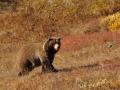 Platz Nr. 33 'Grizzly Denal NP Alaska' (Guenther Wamser)